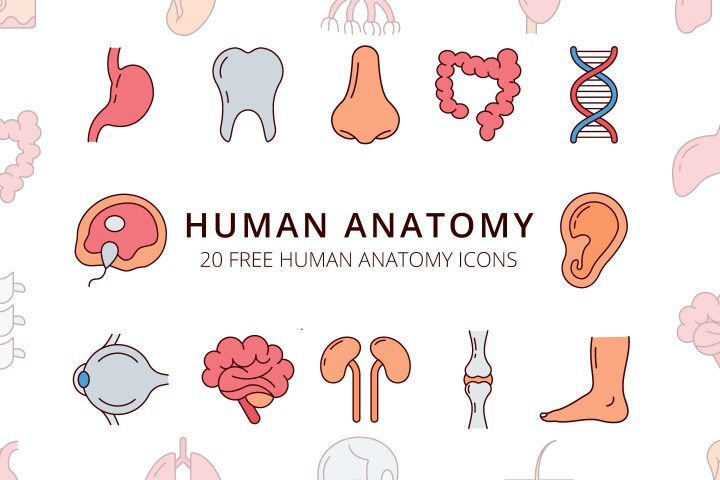 Human Anatomy Vector Free Icon Set